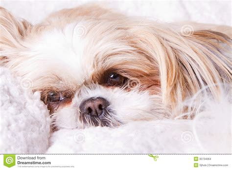how to a shih tzu to lay sad laying stock images image 30734064