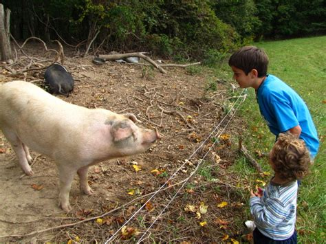 backyard pig bringing salatin s methods to the backyard