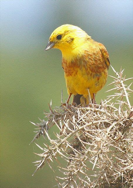 alabama state bird yellowhammer the quot yellowhammer quot was