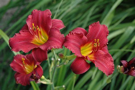 Stelan Flower ruby stella daylily hemerocallis ruby stella in edmonton st albert sherwood park stony plain