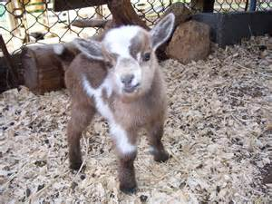 Pygmy sheep for sale goat goats and sheep for sale farm animals