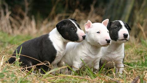 price of westie puppies bull terrier price range how much does a bull terrier puppy cost
