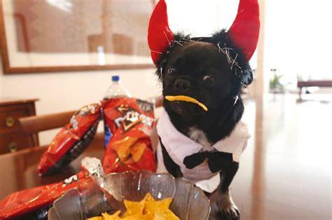 pug doritos you won t believe what bold pug did for doritos talent hounds