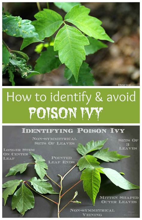 identify poison ivy leaves pinterest the world s catalog of ideas