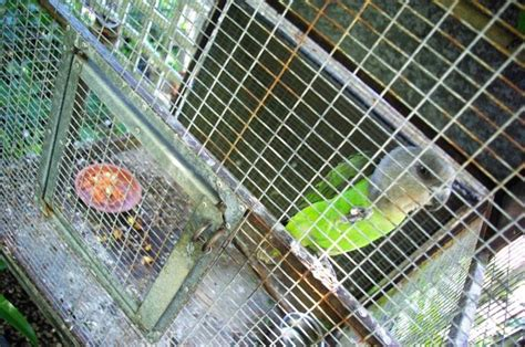 pappagalli in gabbia pappagalli inseparabili pappagalli caratteristiche dei