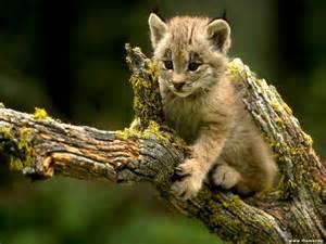 fran 231 ais 101 animaux en eurasian lynx