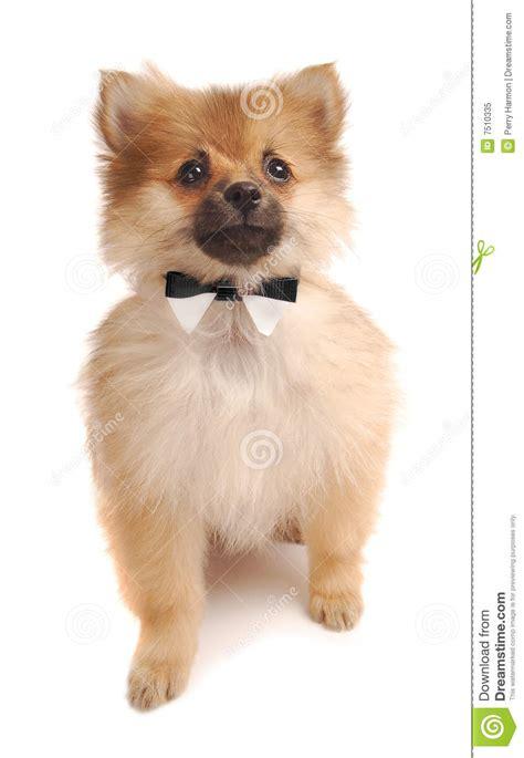 pomeranian tuxedo pom tuxedo royalty free stock photo image 7510335