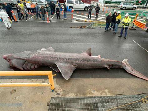 monster crocodile attacks fishing boat giant basking shark caught accidentally by fishing trawler