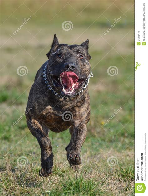 pit bull running royalty  stock images image