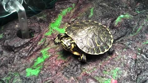 aquatic turtles turtle eats fishes 20 gallon long turtle tank youtube