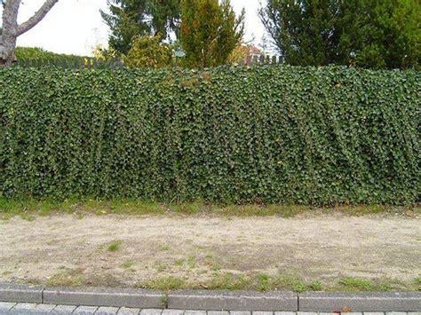 potatura piante da giardino periodo potatura siepi siepi qual 232 il periodo