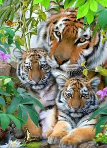 lions and tigers and nurses a nursing novella about lateral violence nursing novellas volume 1 books gorgeous tiger family tigers lions