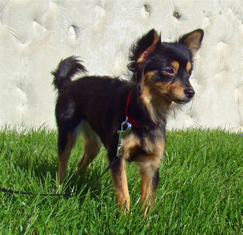 chihuahua yorkie papillon mix hair chihuahua terrier mix dogs breeds picture