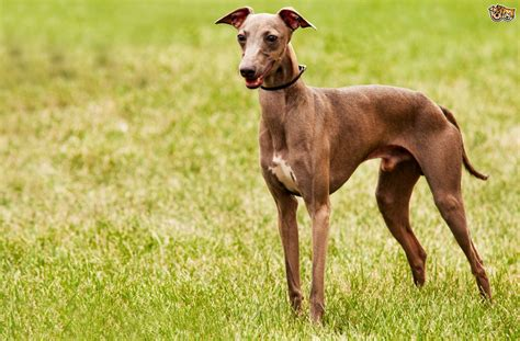 Some unusual sighthound breeds you may not know of