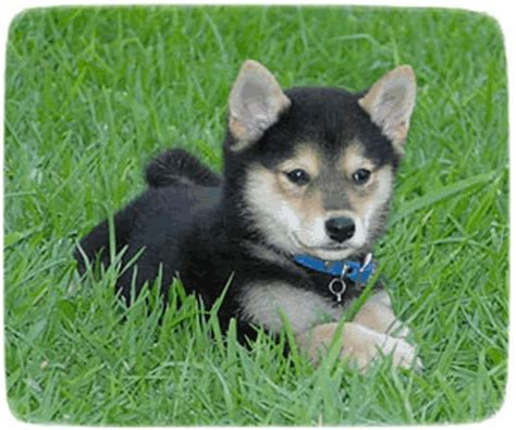 black shiba inu puppies shiba inu puppy black puppies pet photos gallery wk2levy3n7