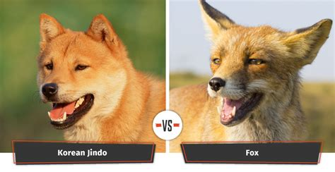 can foxes and dogs breed dogs that look like foxes 12 foxy breeds