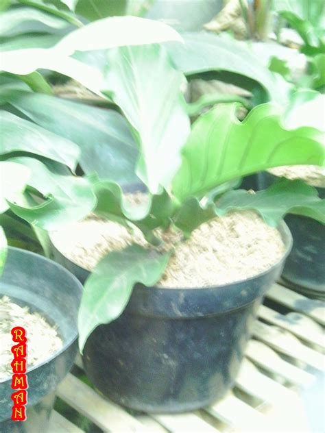 jual tanaman hias gelombang cinta