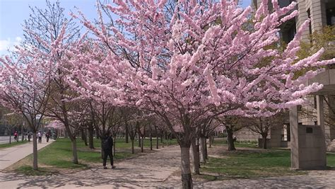 cherry tree national trees japanese cherry blossom shinjuku gyoen national park nature tokyo asia japan