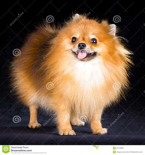 free pomeranian puppies pomeranian puppy royalty free stock photos image 21313598