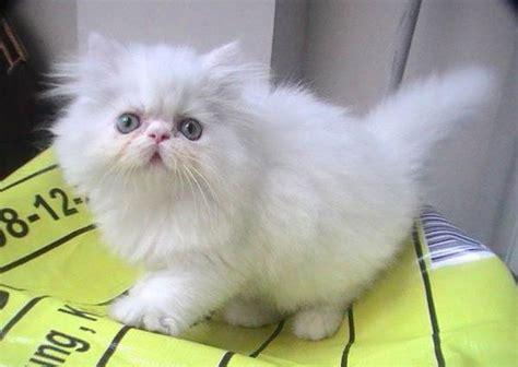 Daftar Obat Cacing Untuk Kucing 15 cara merawat kucing flatnose mudah untuk pemula