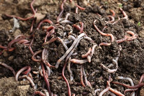 types of worms vermicomposting worm types what are the best worms for compost bin