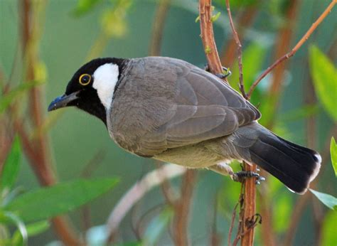 white cheek bulbul buy dead birds for taxidermy