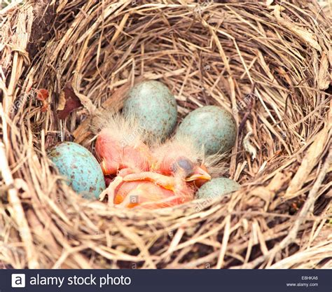 baby robin hatching best 28 robins hatching robins robin s eggs just