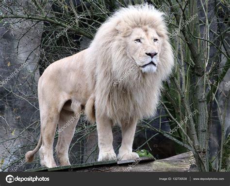 imagenes leon blanco fotos beautiful white lion pictures www pixshark com images