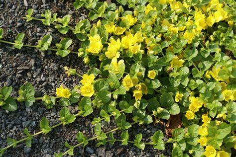jardin jasmin lysimachia nummularia