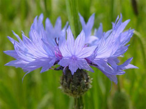 fiordaliso fiore foto fiordalisi primaverili fiori di co fotografie fiori