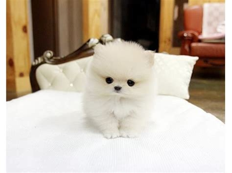 teacup pomeranian puppies for sale in illinois charming micro tiny teacup pomeranian puppies for sale animals chicago illinois