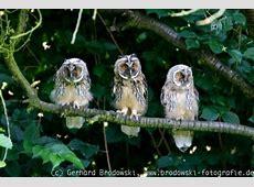 Greifvögel und Eulen - Raubvögel bestimmen, finden, Bilder ... Habitat Hamburg