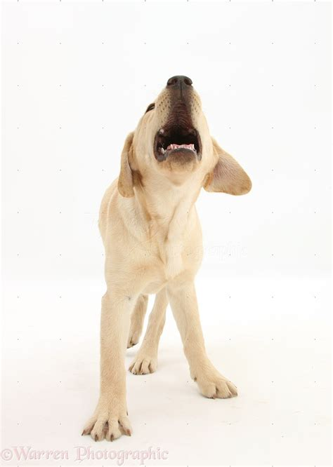 golden retriever howling pin labrador photo gallery great lab pics on