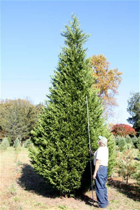 hilltop christmas tree farm tall trees