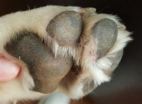 paws treatment how we treated our s nasodigital hyperkeratosis wait what commatose ca