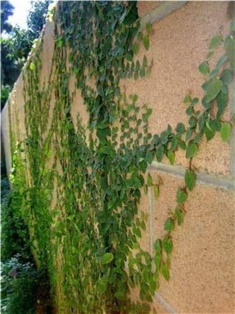 practical gardening creeping fig ficus pumila