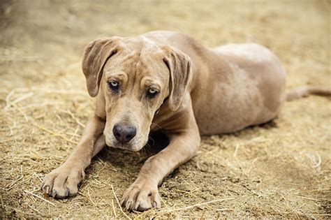 catahoula breed catahoula grown wallpaper breeds picture