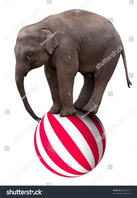 On A by Baby Circus Elephant Balancing On Big Stock Photo 22813210
