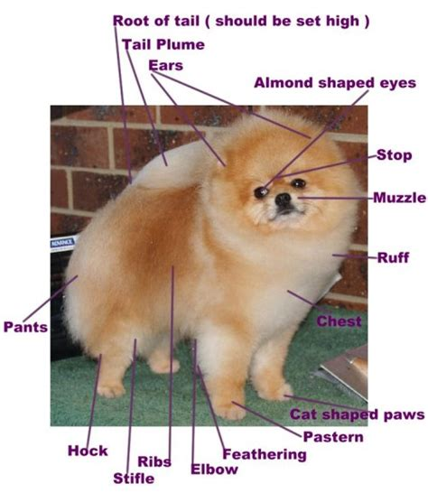 color explained a breeder s perspective books points of the pomeranian pomeranian information and facts