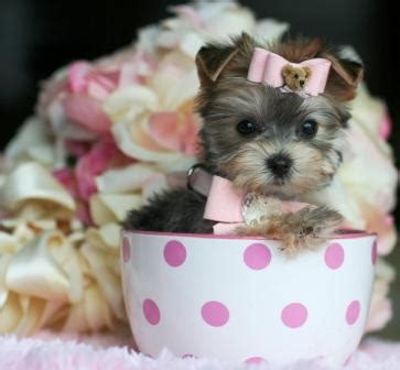 yorkie puppies for sale in salem oregon teacups teacups yorkies maltese teacup puppies pomeranians must see