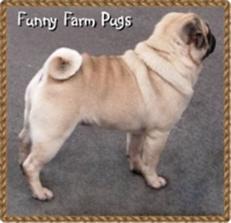smutty fawn pug wonderful world of coloured pugs www pugs co uk