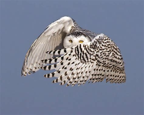 notes from a snowy owl invasion audubon