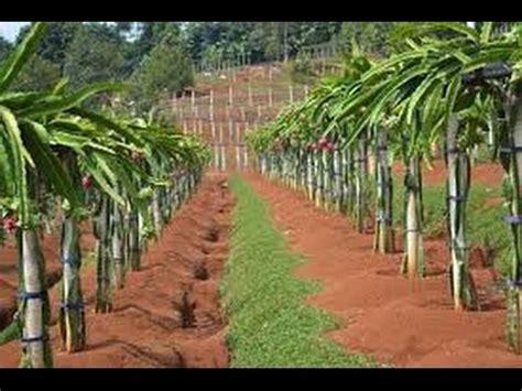 Bibit Buah Naga Di Banyuwangi kebun buah naga penuh lu di sumbermulyo pesanggaran