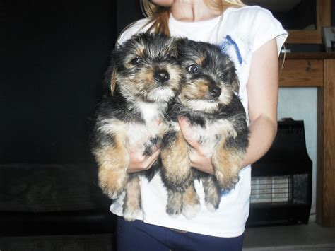 cross yorkie puppies westie cross yorkie puppies 2 left tipton west midlands pets4homes