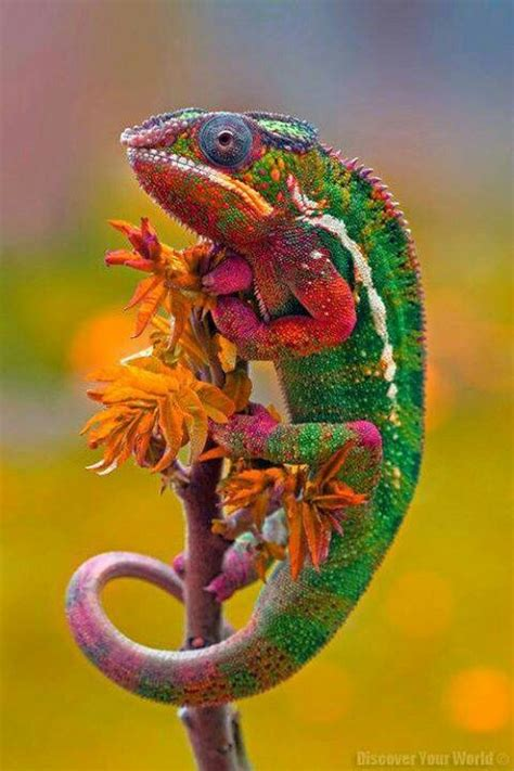 colorful chameleon colorful chameleon bold bright colors