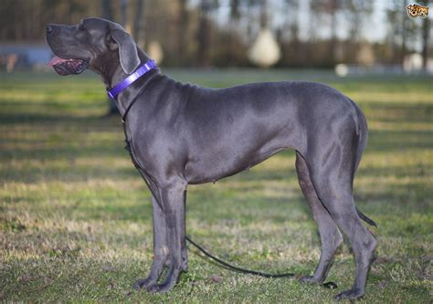 great dane dogs great dane dog breed info pictures petmd great dane dog breed information buying advice photos