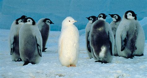 White Pinguin by Amazing Picture Of White Penguin