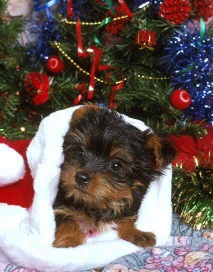 do teacup yorkies bark a lot 584 best images about yorkies on yorkie puppies for sale