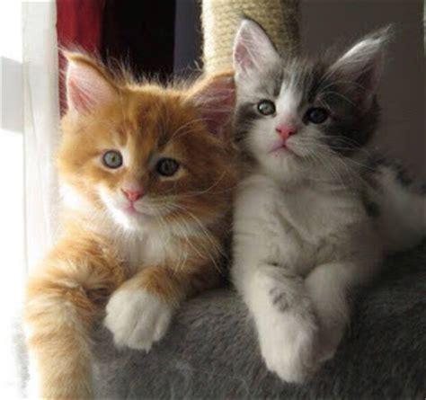 Kucing Takut Hair Dryer foto kucing yang lucu dan cantik