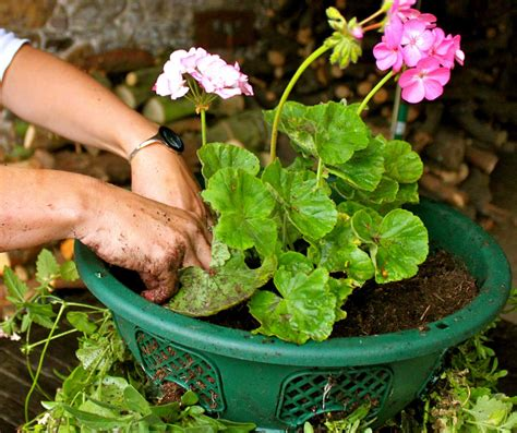 Gardener Direct by How To Create A Beautiful Hanging Basket